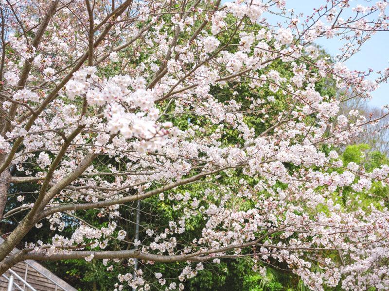 山川池公園の桜